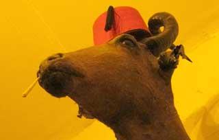 John Bull Camel
