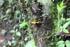 arenal-mushroom