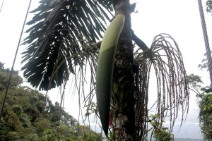 palm-seed-pod