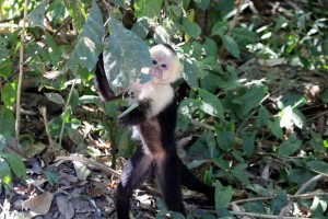 manuel-antonio-monkey