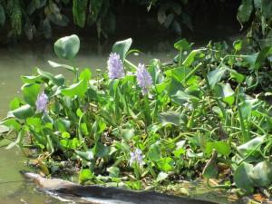 sierpe-floating-plants