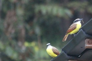 yellow-birds