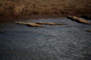 croc-bridge-2