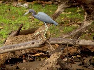 grey=heron-frio